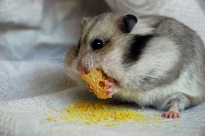 Злые хозяева не кормят маленького хомячка!