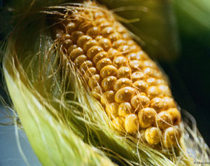 Кукуруза и продукты из нее